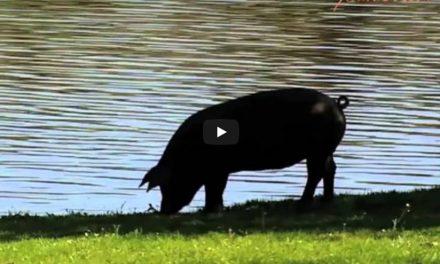 Das Iberische Schwein aus Spanien und der Eichelschinken