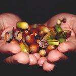 Hoe gezond is eikel voor menselijke consumptie?