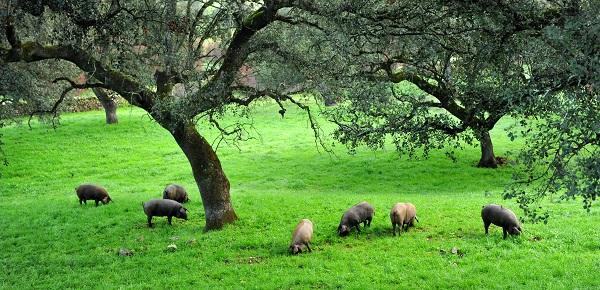 wo dehesa iberico Schweine grasen
