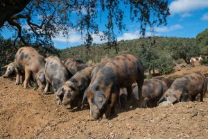 """Manchado de Jabugo"" Schweine"