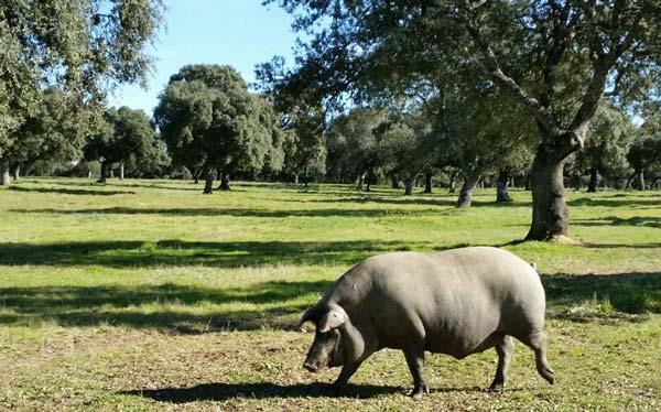 Mythen und Legenden. Iberico-Schinken von weiblichen Schweinen ist besser als der von männlichen Schweinen